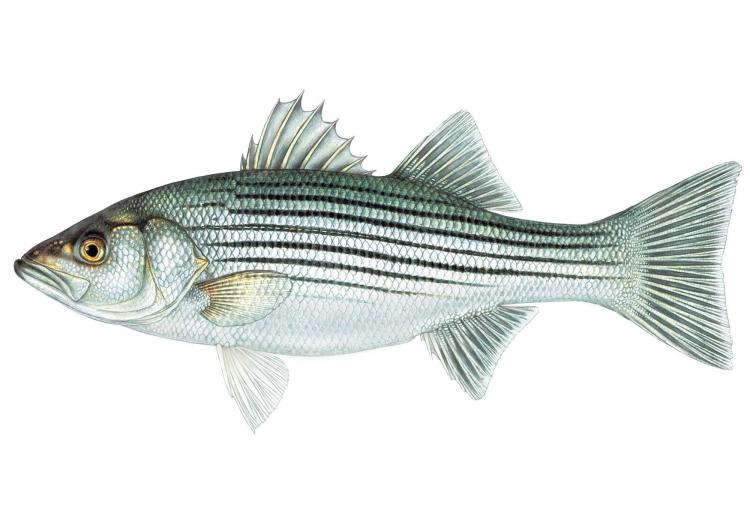The P. reccomend Striped bass fish