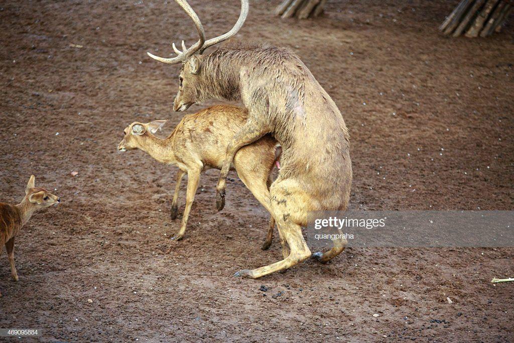 Deer mating dildo photo 980