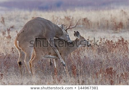Deer mating dildo photo 994