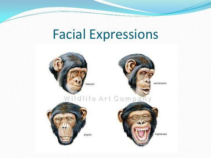 Sparkplug reccomend Chimp facial expressions