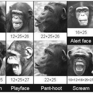Chimp facial expressions