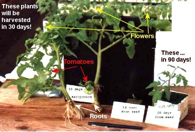D-Day reccomend Days for tomato seed to mature