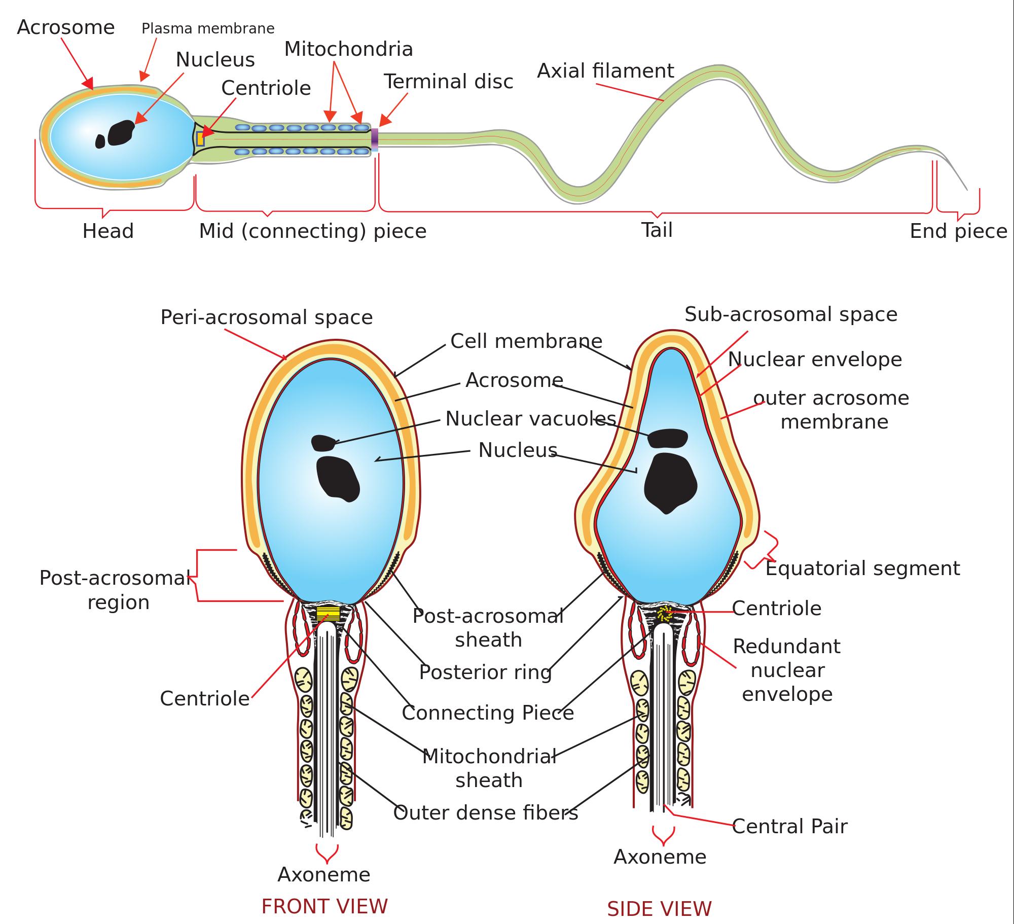 Copycat reccomend Label a sperm cell