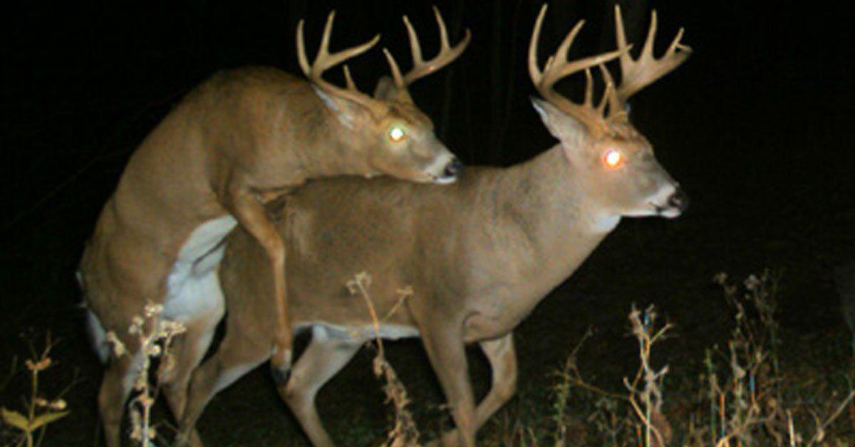 Deer mating dildo photo